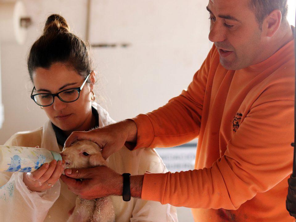 prebionat-nacimiento-aumenta-inmunidad-corderos
